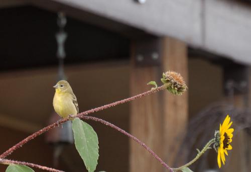 Señuelo pinzones a su jardín